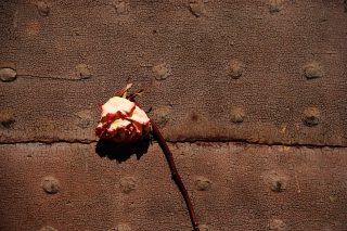 Dried Rose Picture for Android, iPhone and iPad