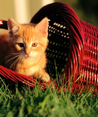 Cat In A Basket sfondi gratuiti per iPhone 6 Plus
