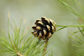 Pine Cone Picture for Android, iPhone and iPad