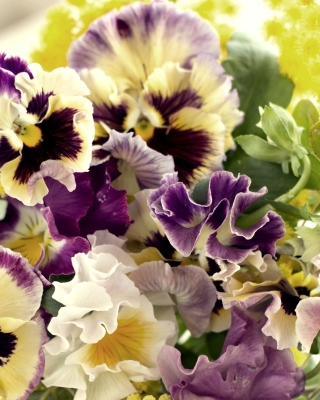 Flowers Pansies Background for Nokia C1-01