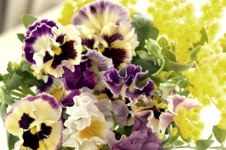 Flowers Pansies Background for Desktop 1280x720 HDTV