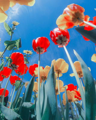 Free Poppies Sunny Day Picture for 240x320