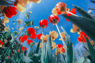 Poppies Sunny Day Wallpaper for Samsung Galaxy Ace 3