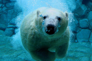 Polar Bear Swimming Picture for Android, iPhone and iPad