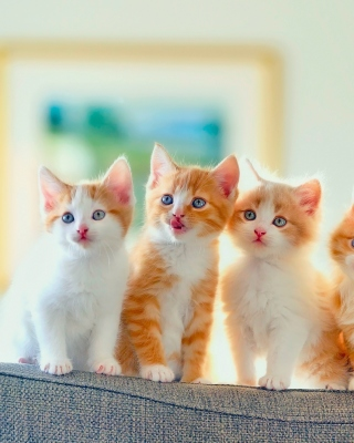 Cute Kittens Wallpaper for Nokia Asha 306