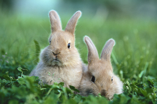 Free Puppy Rabbits Picture for Sony Xperia Z1