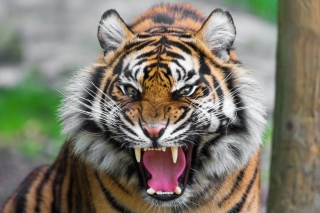 Angry Tiger Background for 1024x768