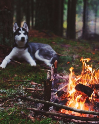 Kostenloses Husky dog and fire Wallpaper für Nokia Asha 308