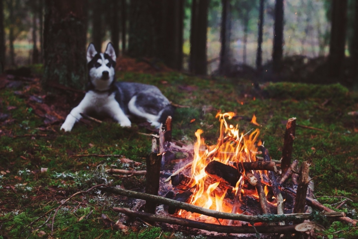 Husky dog and fire wallpaper