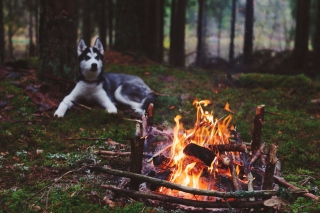 Free Husky dog and fire Picture for Android, iPhone and iPad