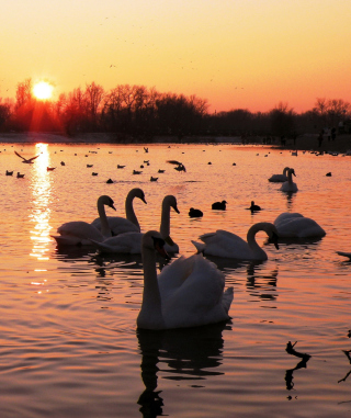 Free Swans On Lake At Sunset Picture for HTC Titan