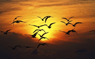 Free Birds Silhouettes At Sunset Picture for Android, iPhone and iPad
