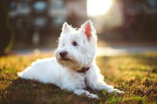 Free West Highland White Terrier Picture for Android, iPhone and iPad