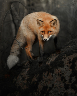Free Fox in Dark Forest Picture for 240x320