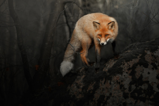 Fox in Dark Forest Picture for Android, iPhone and iPad