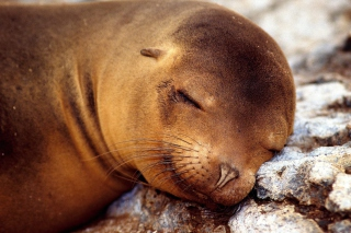 Sleeping Seal Background for Android, iPhone and iPad