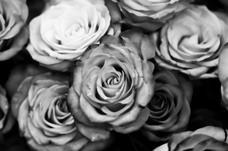 Roses Black And White Picture for Android, iPhone and iPad