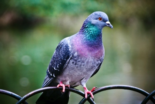 Pigeon Wallpaper for Android, iPhone and iPad