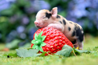 Kostenloses Pig and Strawberry Wallpaper für Android, iPhone und iPad