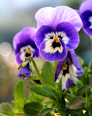 Pansy, Garden Flowers Wallpaper for iPhone 5S