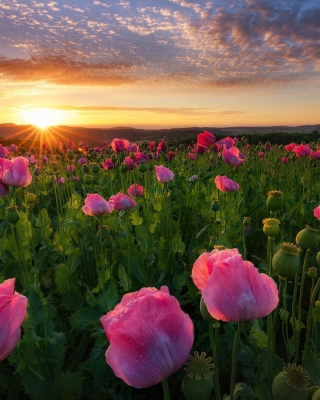 Poppies in Thuringia, Germany Wallpaper for 240x320