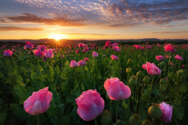 Poppies in Thuringia, Germany wallpaper