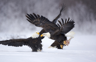 Two Eagles In Snow - Obrázkek zdarma pro Widescreen Desktop PC 1920x1080 Full HD