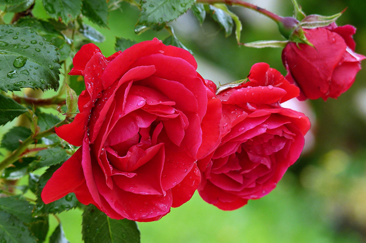 Red rosebush wallpaper