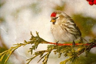Redpoll bird sfondi gratuiti per cellulari Android, iPhone, iPad e desktop