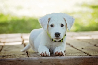 White Puppy Background for Android, iPhone and iPad