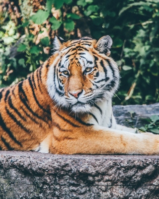 Free Siberian Tiger Picture for Nokia Asha 305