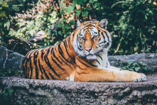 Siberian Tiger Wallpaper for Samsung Galaxy Ace 4