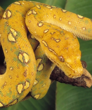 Free Yellow Snake Picture for Nokia 5800 XpressMusic