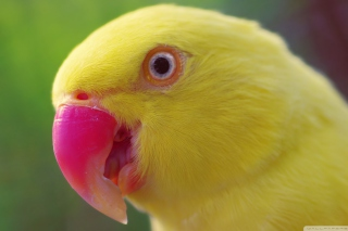 Free Yellow Parrot- Picture for Android, iPhone and iPad