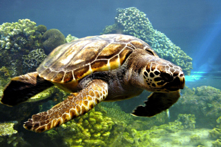 Turtle Snorkeling in Akumal, Mexico Wallpaper for Android 480x800