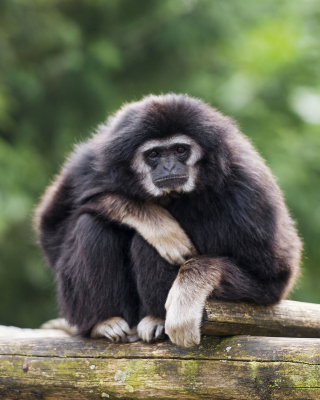 Free Gibbon Primate Picture for 240x320