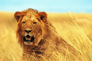 Lion 4K Ultra HD Wallpaper for Samsung Galaxy S5