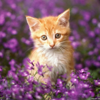 Sweet Kitten In Flower Field papel de parede para celular para HP TouchPad