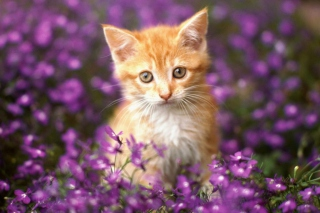 Обои Sweet Kitten In Flower Field для телефона и на рабочий стол