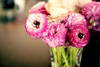 Free Pink Ranunculus Picture for Android, iPhone and iPad