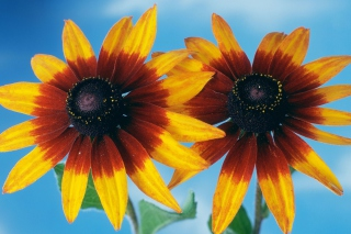 Free Sunflower Picture for Android, iPhone and iPad