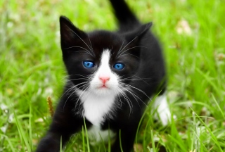 Free Blue Eyed Kitty In Grass Picture for Android, iPhone and iPad