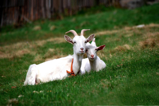 Two Goats Wallpaper for Android, iPhone and iPad