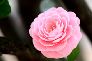 Pink Camellia Background for Android, iPhone and iPad