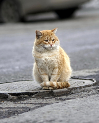 Fluffy cat on the street - Fondos de pantalla gratis para iPhone 4S