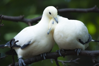 White Doves Love Picture for Android, iPhone and iPad