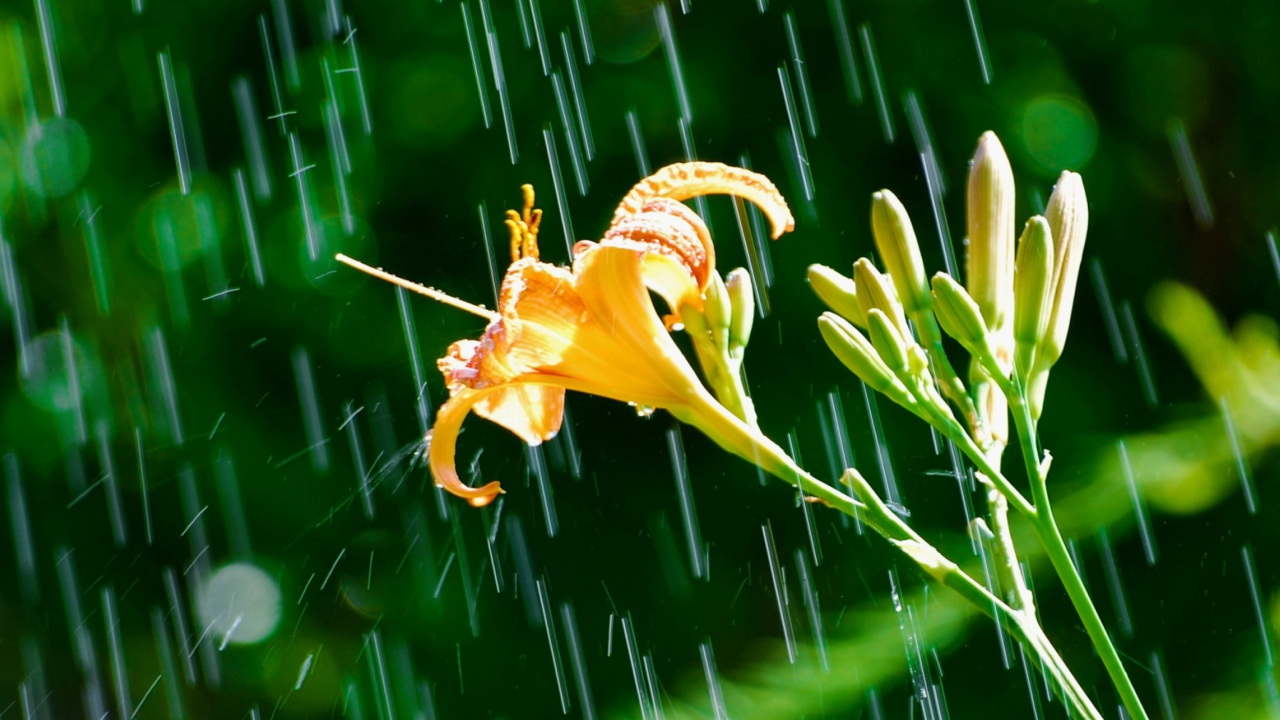 Daylily In The Rain