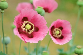 Pink Poppies sfondi gratuiti per cellulari Android, iPhone, iPad e desktop