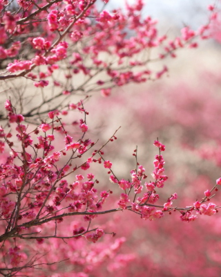Free Spring Tree Blossoms Picture for 320x480
