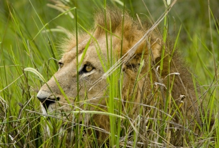 Lion In The Grass - Fondos de pantalla gratis